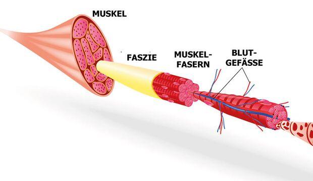 Die Faszien umhüllen nicht nur jeden Muskel, sondern auch jede noch so kleine Muskelfaser.