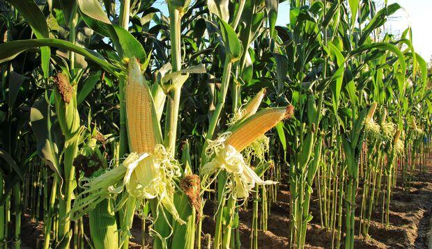 Pflanzenfasern aus Mais werden für die Herstellung von Xylit verwendet