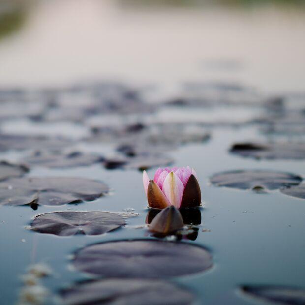 Rose im Wasser